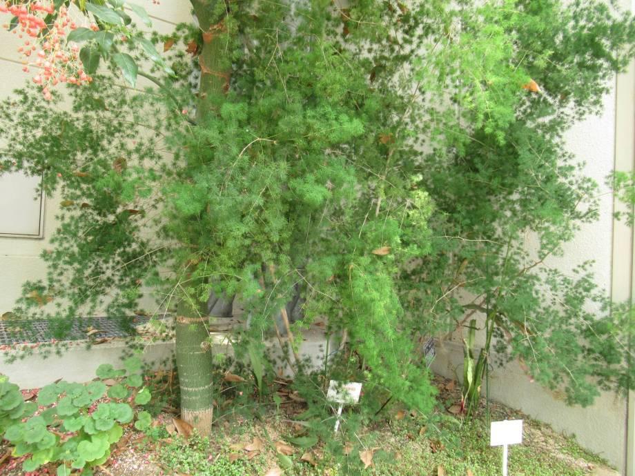 戸田川緑地の温室に植えられていたアスパラガス マコワニー