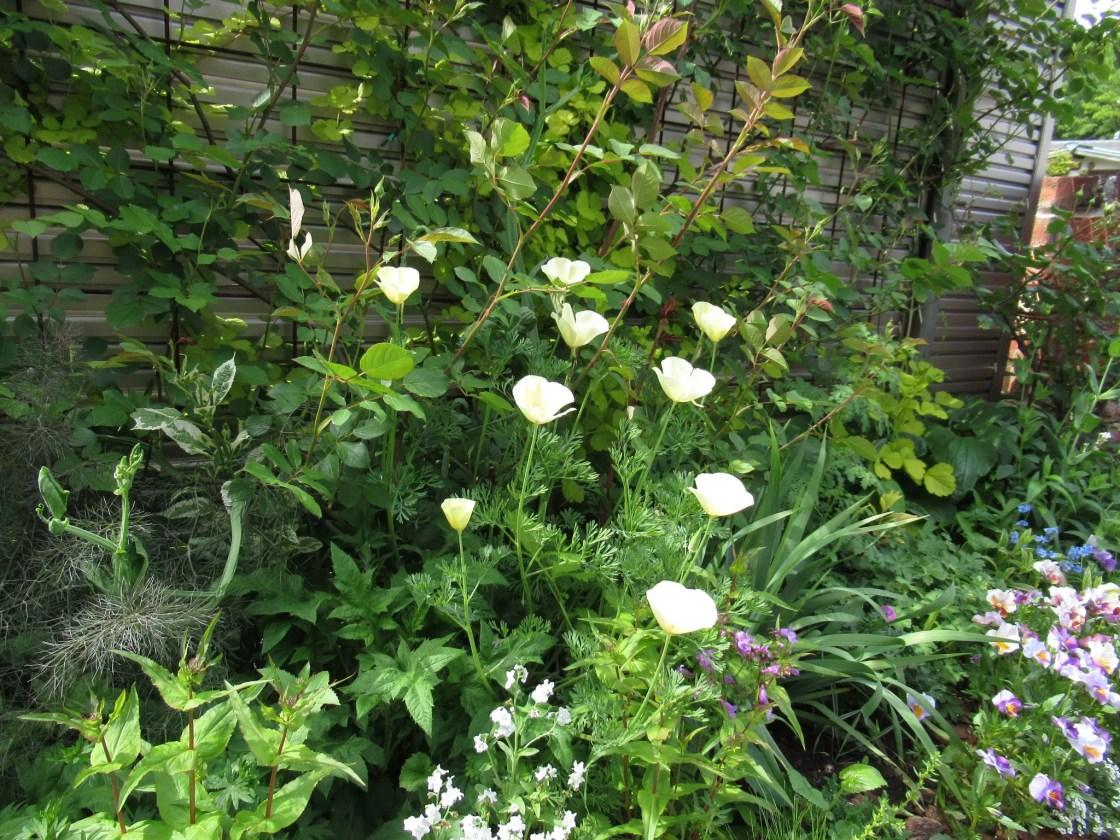 エスコルチア 白花
