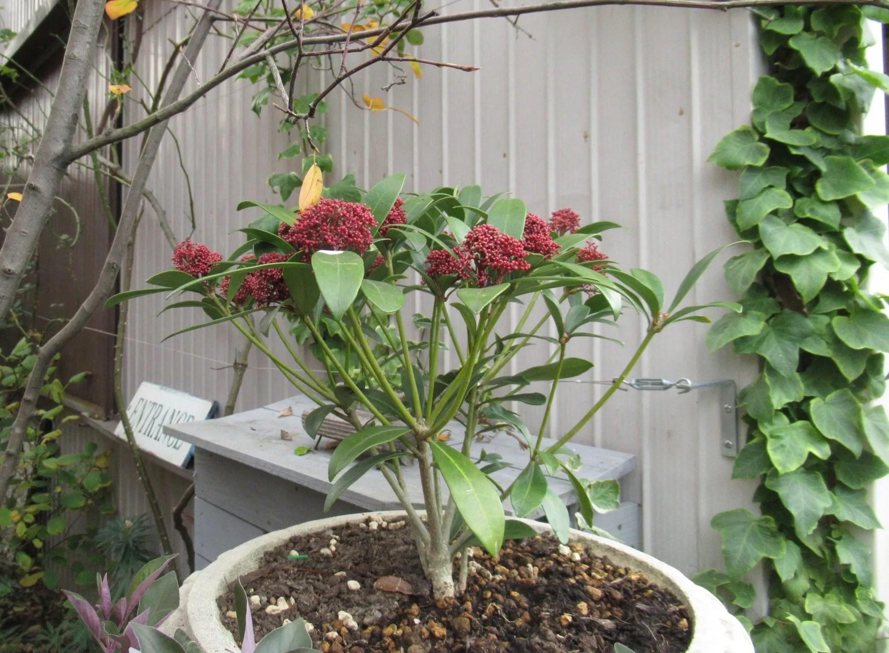 スキミア 鉢植え