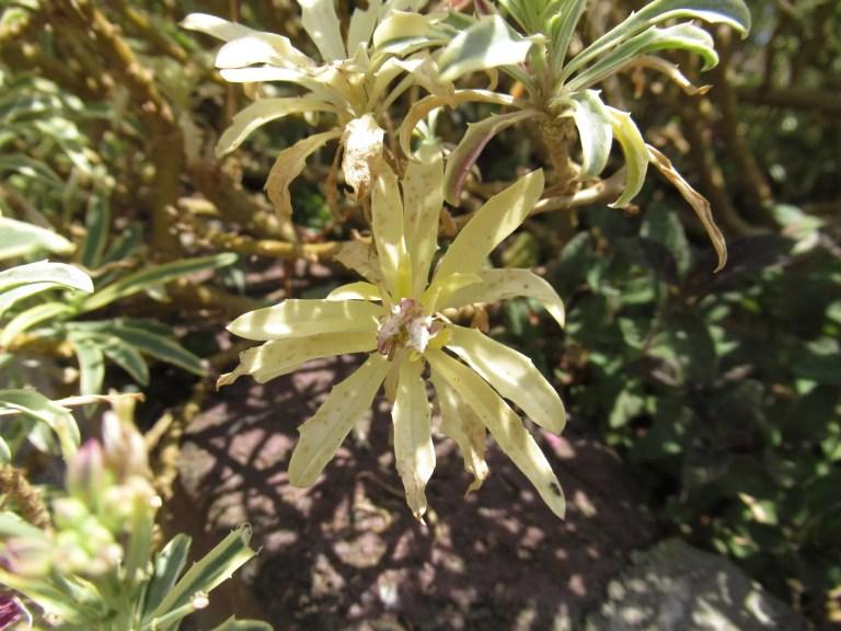 たまに出現する緑色のない黄色い葉。他の植物でも出ますが正常です。
