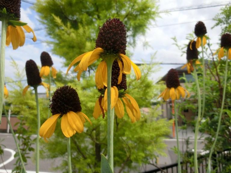 ルドベキア マキシマが開花した様子。花の画像です。