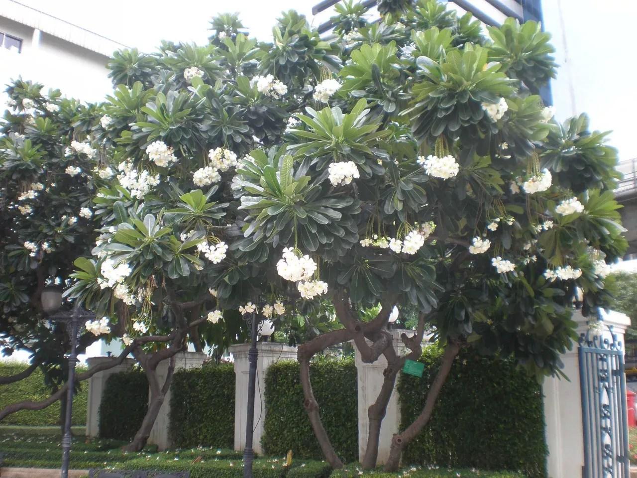 バンコクで見た大きなプルメリア。