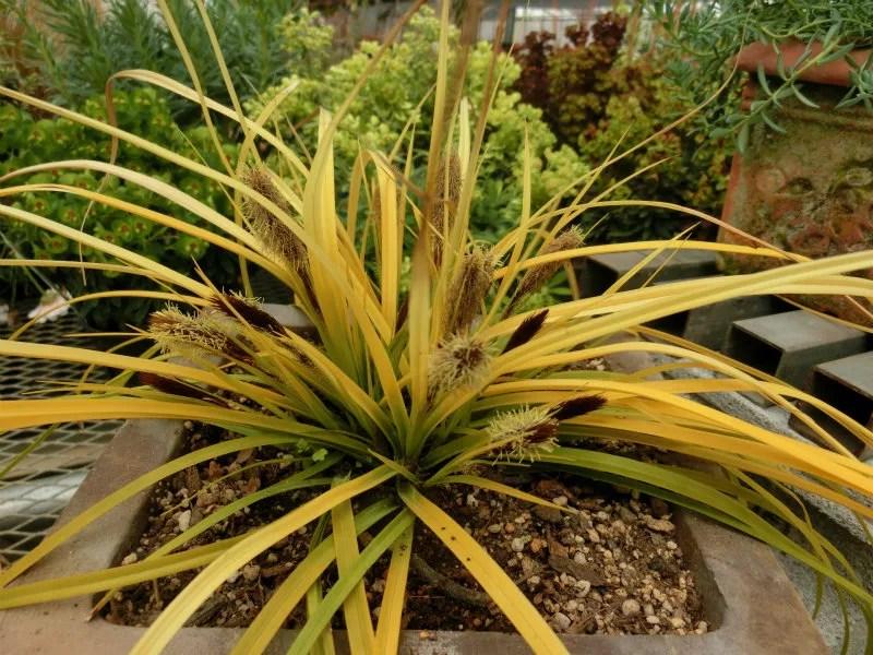 カレックス'エヴァリロ'です。強い霜や寒さの下に数日放置すると葉が赤っぽく変化します。