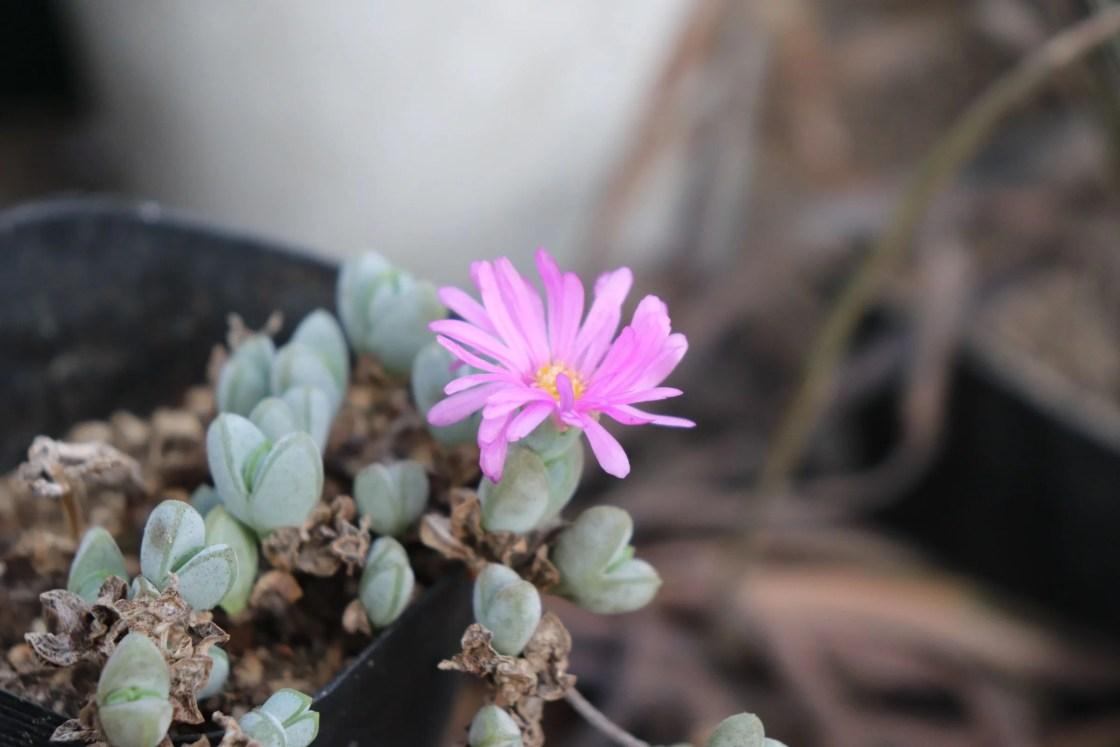 メセンの花です。
