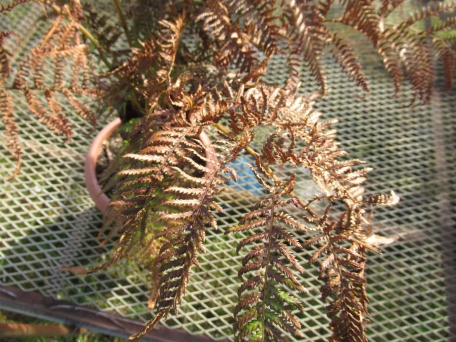2月の屋外に置いてあるディクソニアの葉の状態。