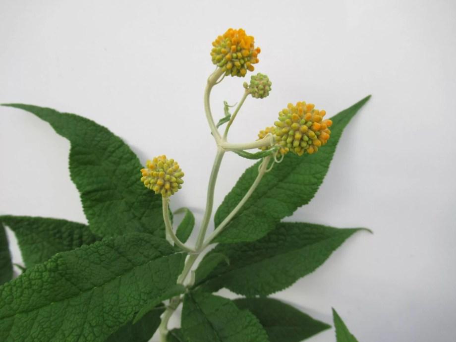 丸い玉のような花のブッドレア・グロボーサ