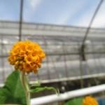 ブッドレア グロボーサの花です。