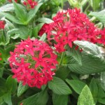 ペンタス サマースターの花の画像です。