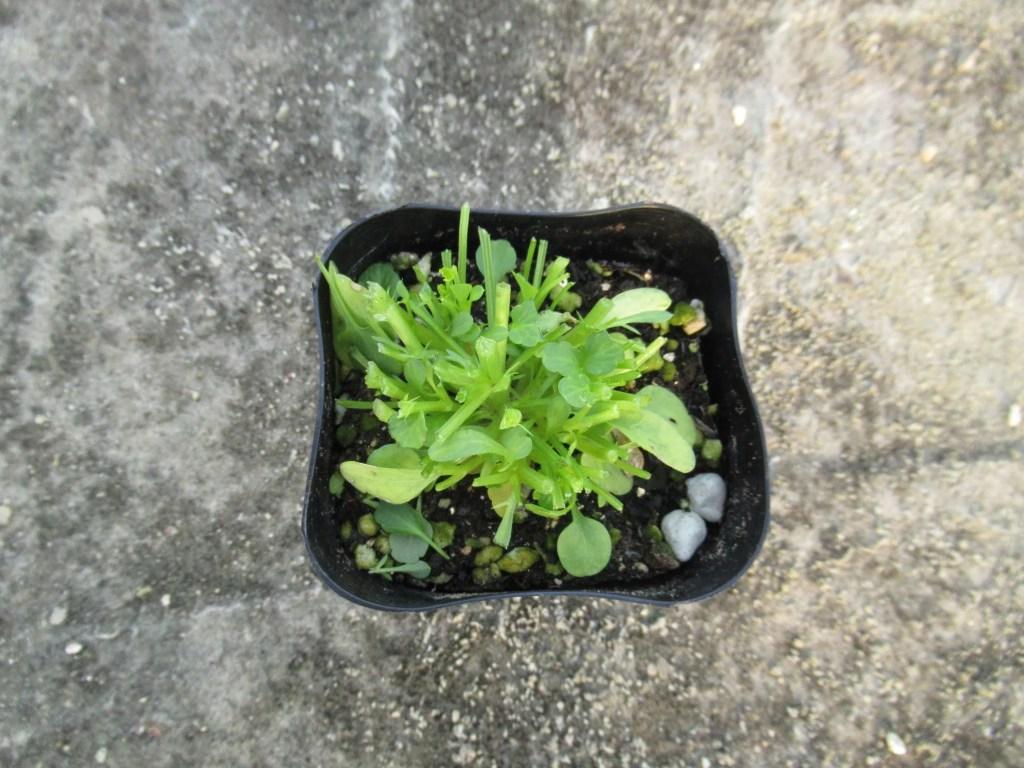 剪定したビオラの苗。