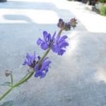 サルビア ターゲスタニカ プラチナム の花の画像です。