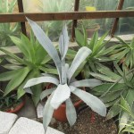 赤いトゲが特徴で青白い葉のアガベ フランゾシニー