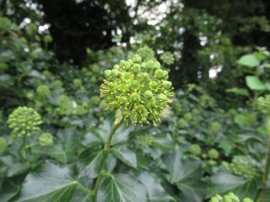 ヘデラ・ヘリックスの花。