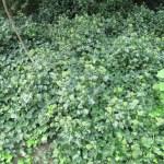 ヘデラ・ヘリックスが群生している様子。花芽付き。