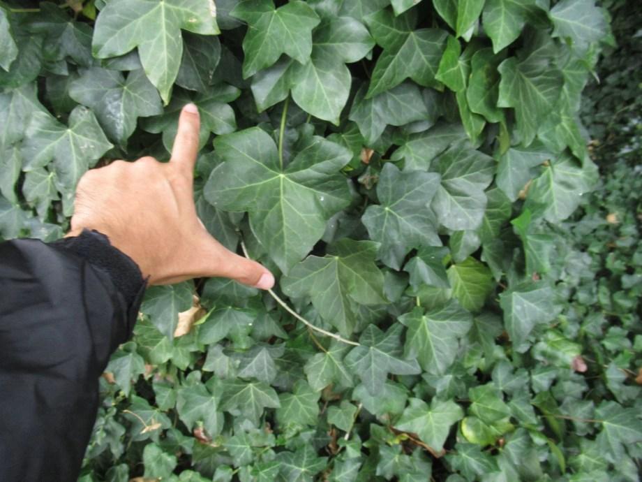 大きく育ったヘデラ・ヘリックスの葉です。