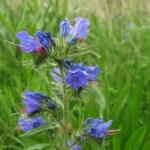 エキウム・ブルガレの花です。