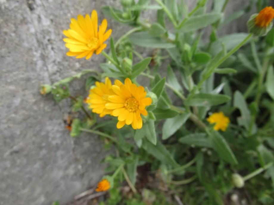 寒咲きカレンデュラの花です。
