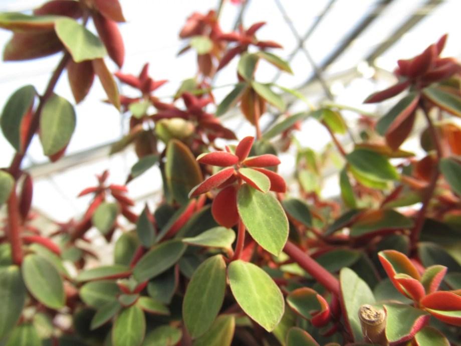 ペペロミア バーティキラタ (peperomia verticillata)