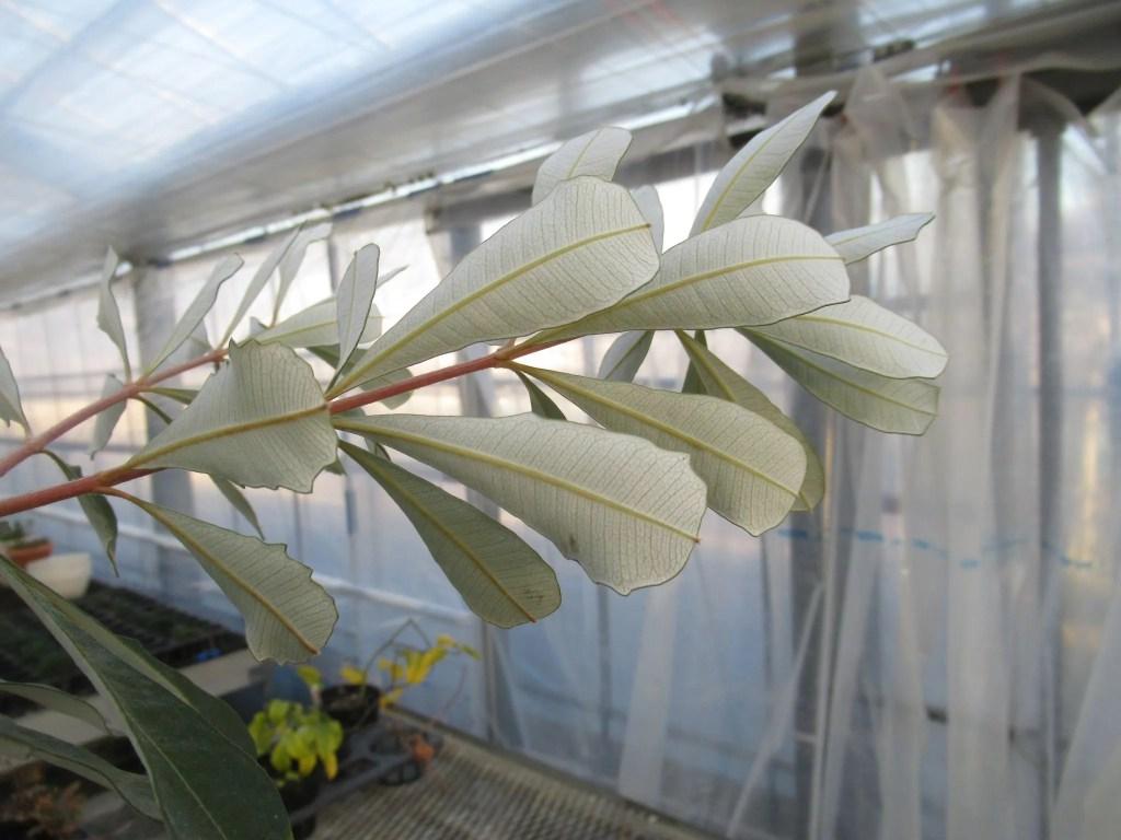 バンクシア インテグリフォリアの葉の裏は白い