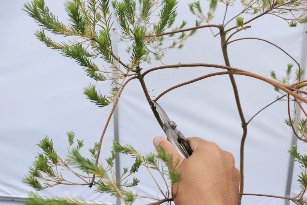 ハサミでバンクシアの枝を切っている様子。