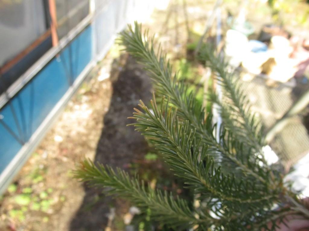 バンクシア エリキフォリアの越冬について。