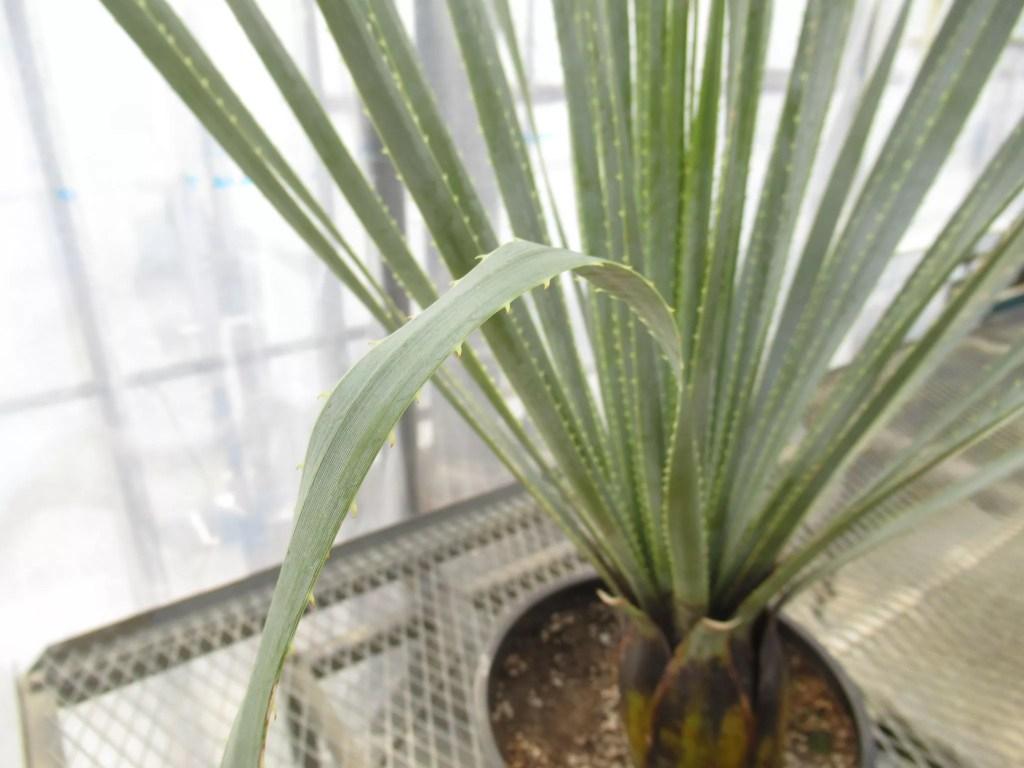 ダシリリオン グラウコフィラムの葉は柔らかいです。