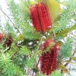 ヒースバンクシアの花の様子  4月ごろ