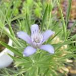 カンパニュラ咲のニゲラです。
