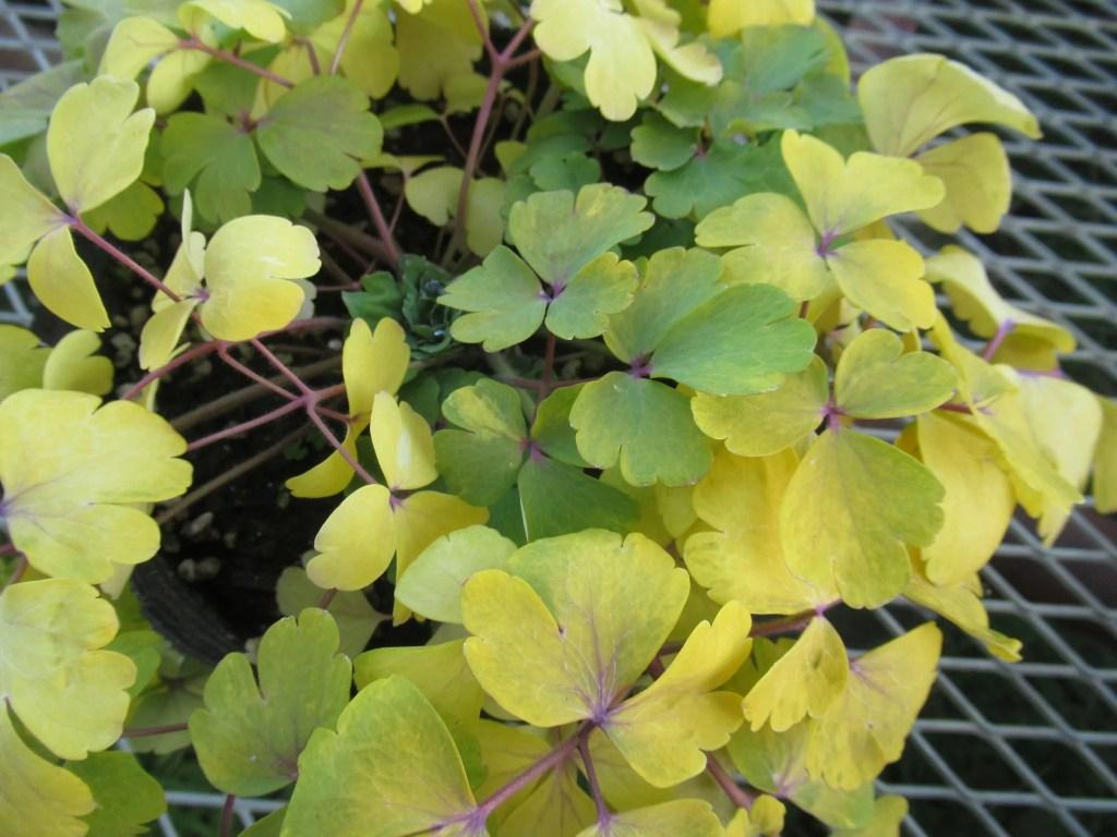オダマキ ローマン・ブロンズ  新しい葉が青くなる