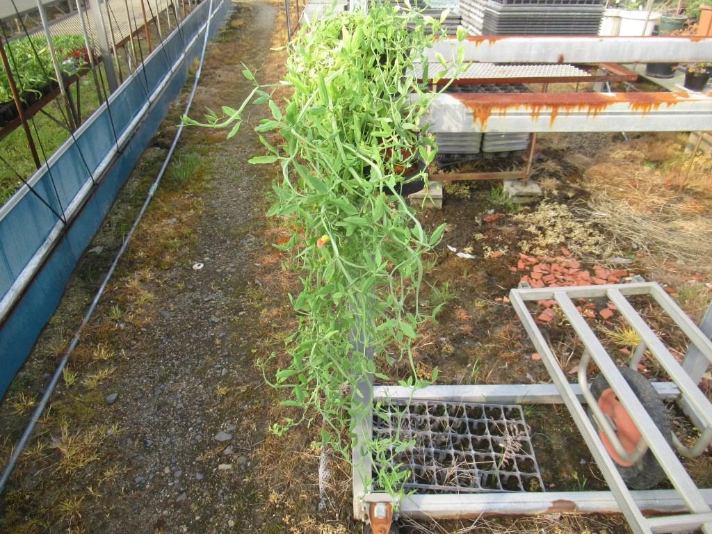 原種のスイートピーを鉢植えで育ててます。