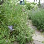 フロミス プルプレア の花