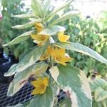リシマキア ゴールデンアレキサンダーの花