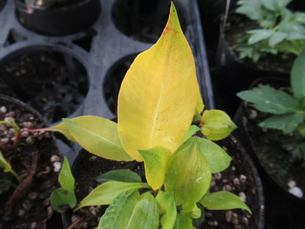 黄金色の葉