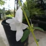 白花のケラトテカ トリロバ