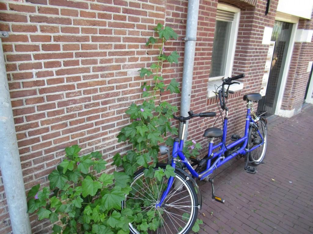 オランダで見た背の高い草。