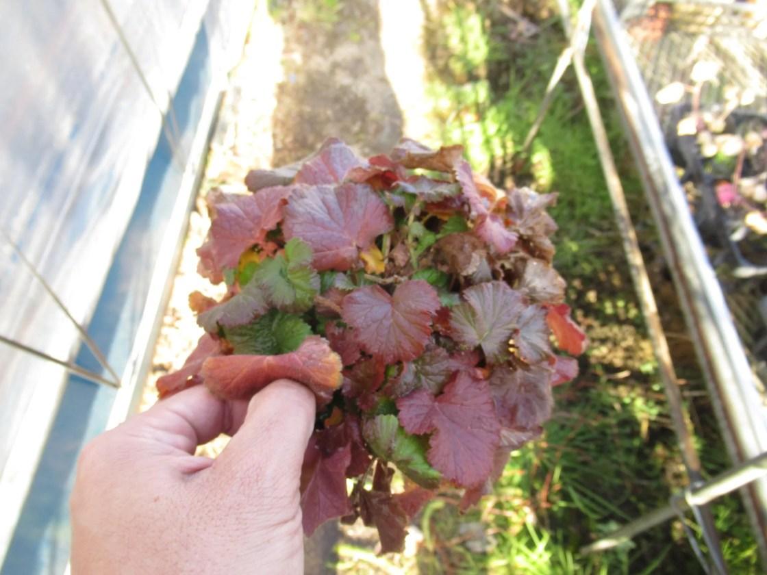 ゲウム リバレは冬の寒さに当たると紅葉します。
