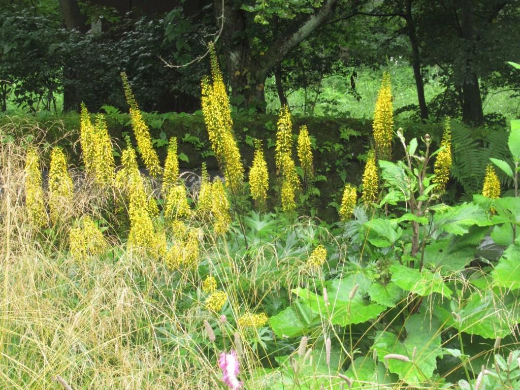 ligularia stenocephala の花