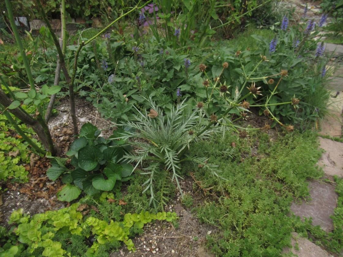 エリンジウム ベヌスツム の植栽風景