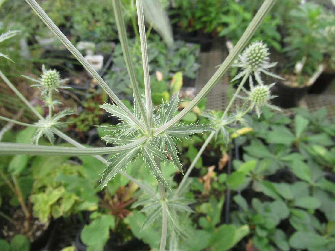エリンジューム プラナム シルバーサレンティノの葉