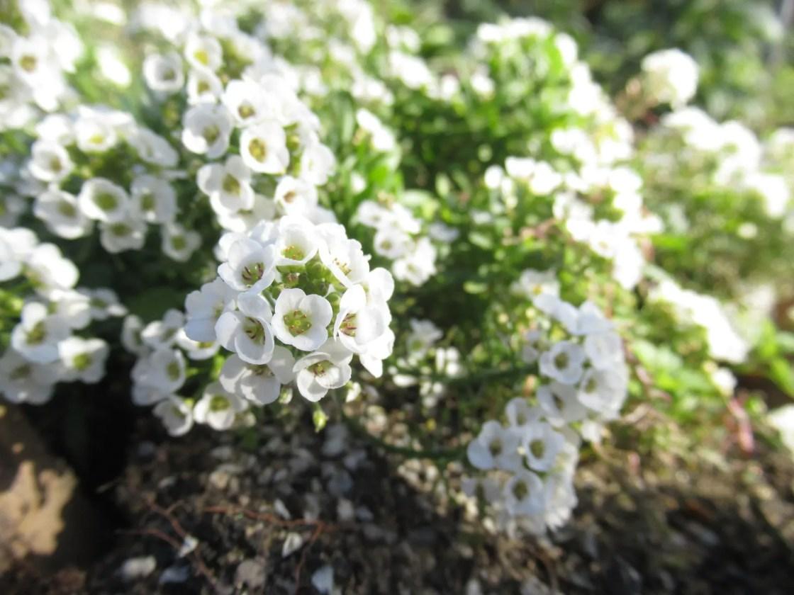 スイートアリッサムの白花
