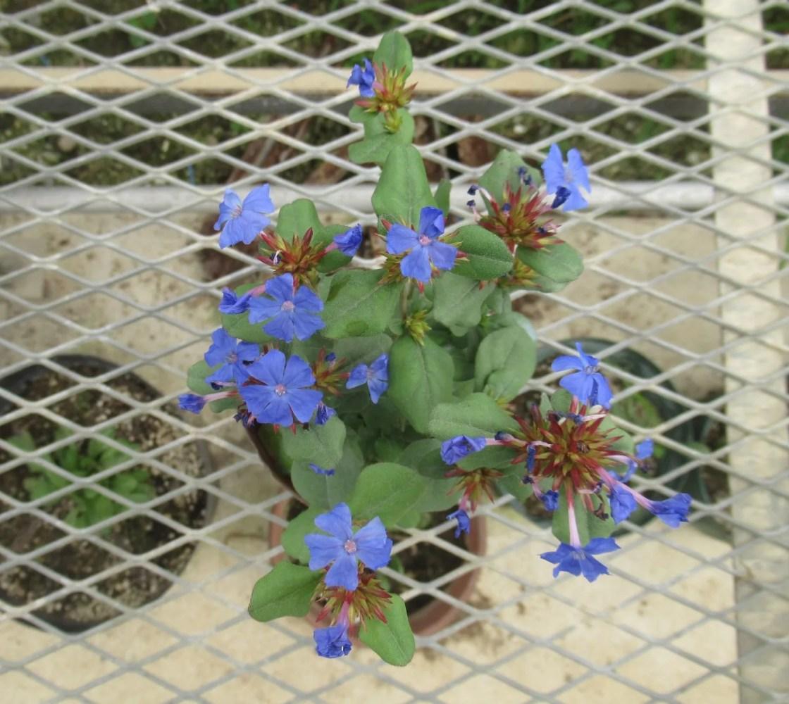 ルリマツリモドキ ブルーサファイアの花