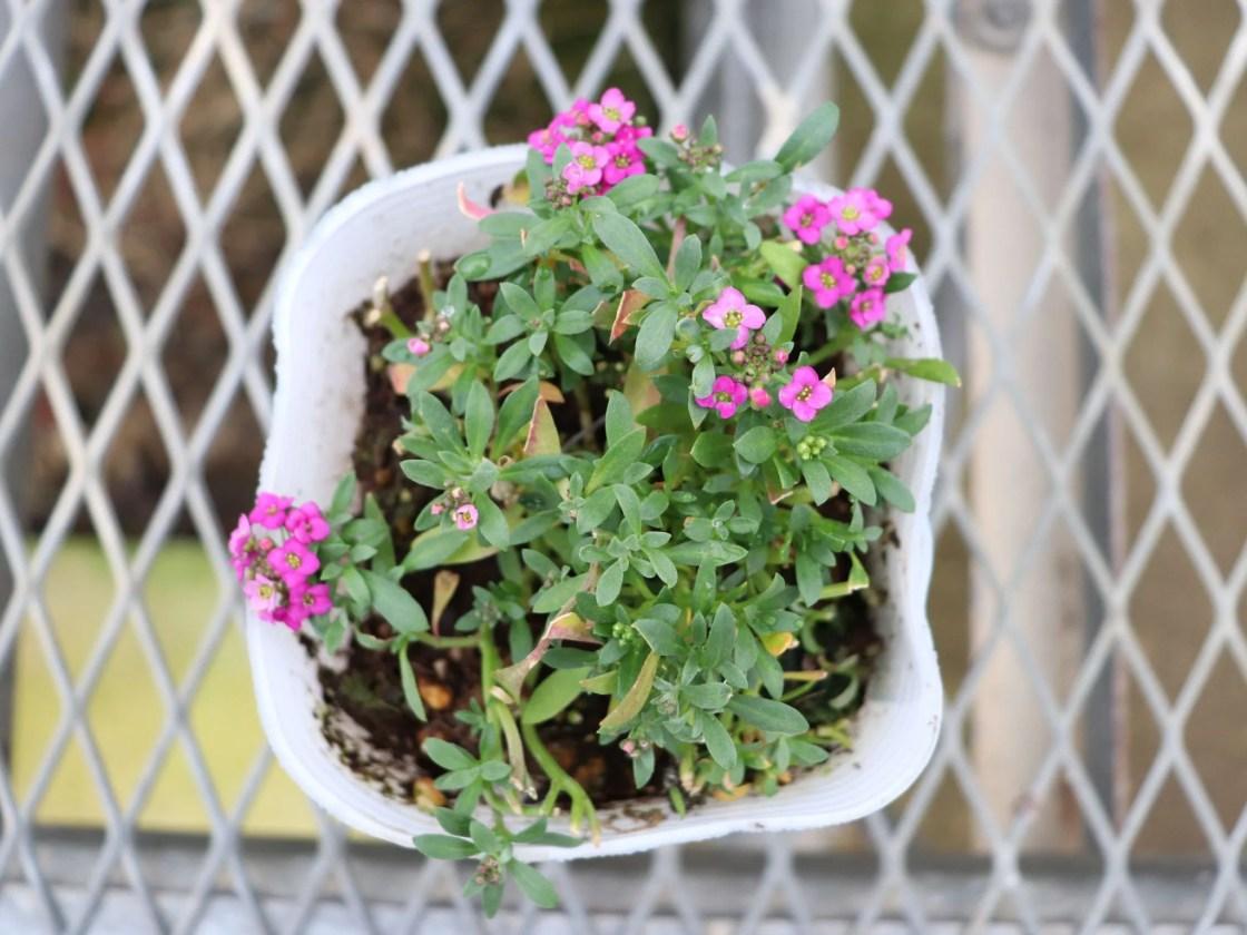 紫色の花のアリッサム