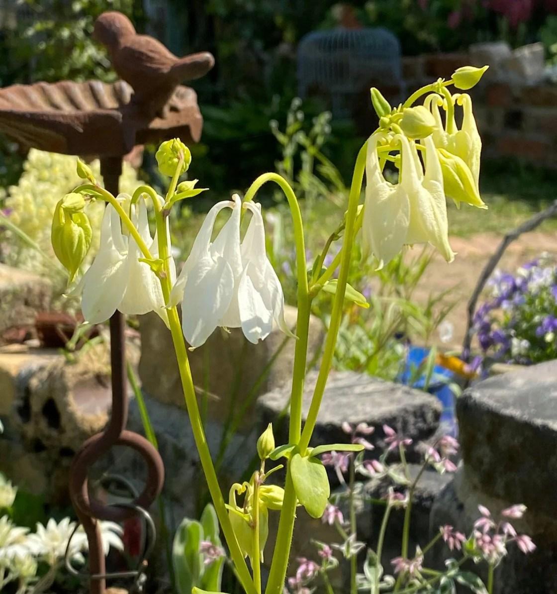 セイヨウオダマキ メローイエローの花