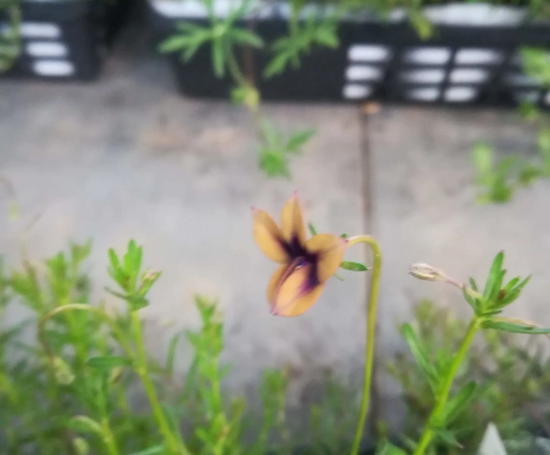 モノプシス スカブラの花。