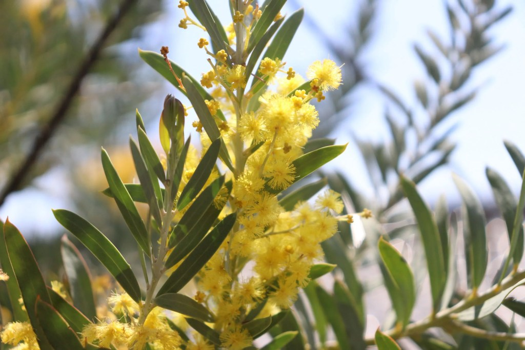 アカシア ブルーブッシュの花