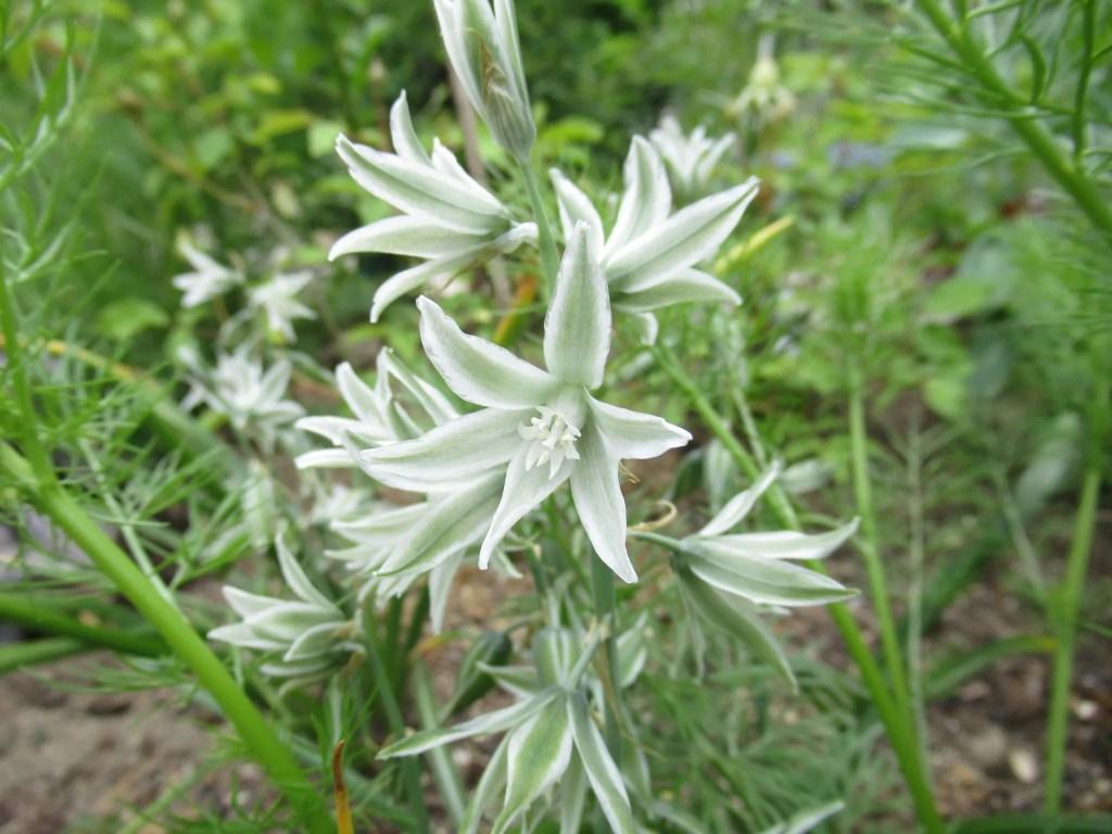 オーニソガラムの花