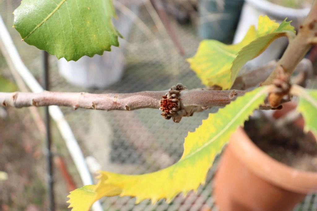 枝の部分に出来たリグノチューバー