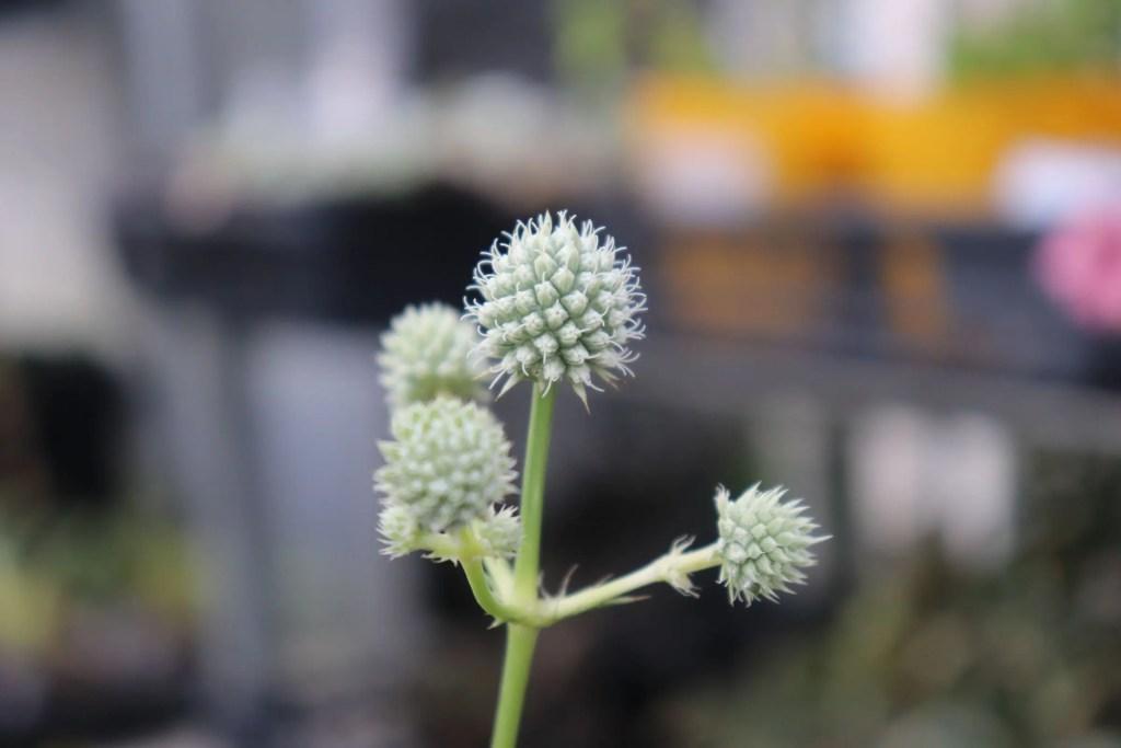 エリンジウム ユッキフォリウムの花