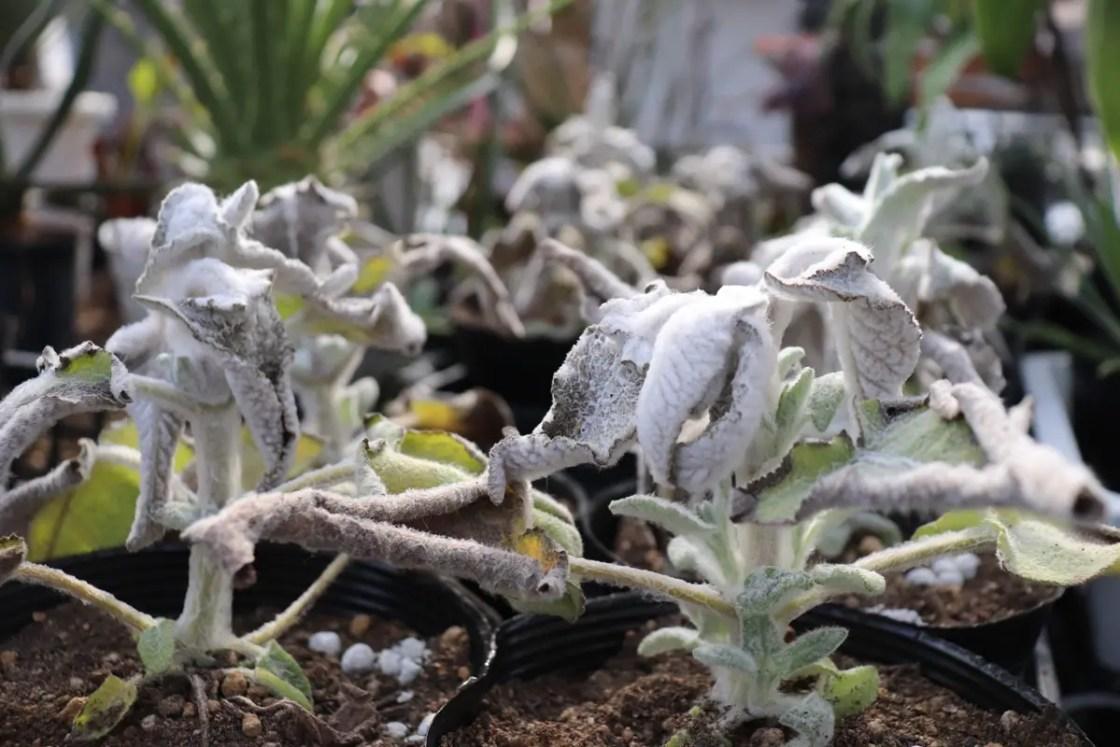 凍傷から復活する植物