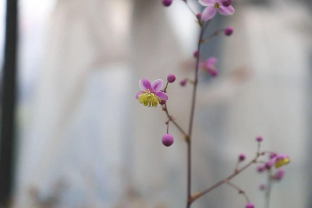 シキンカラマツの花