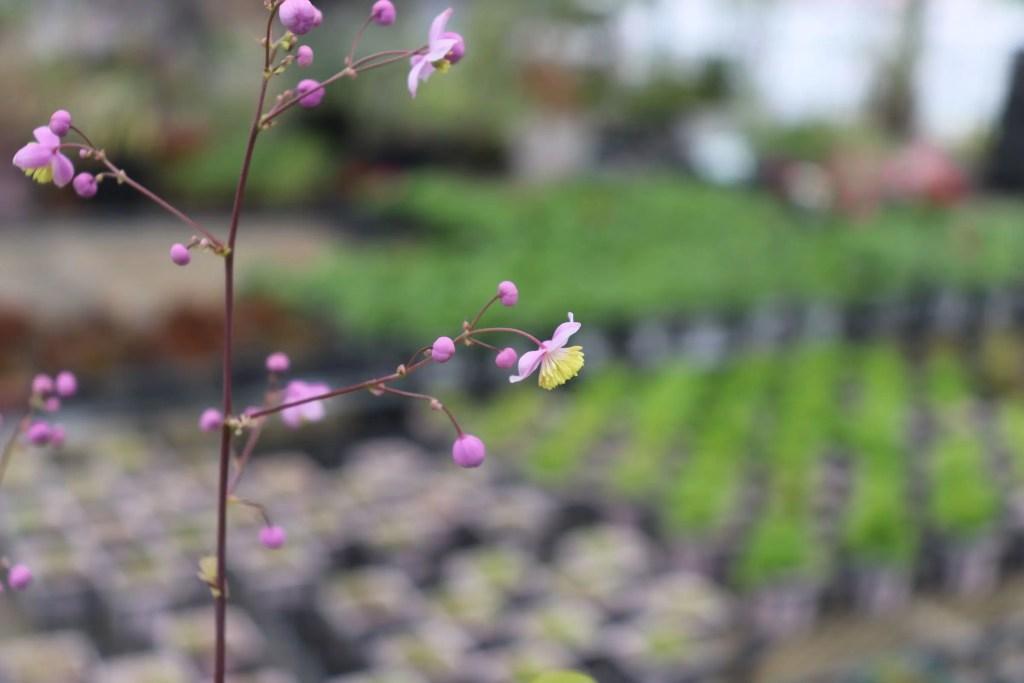 タリクトラム・ロケブルニアヌムの花